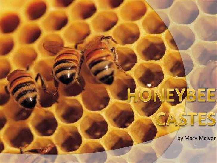 Honeybee Castes<br />by Mary McIvor<br />