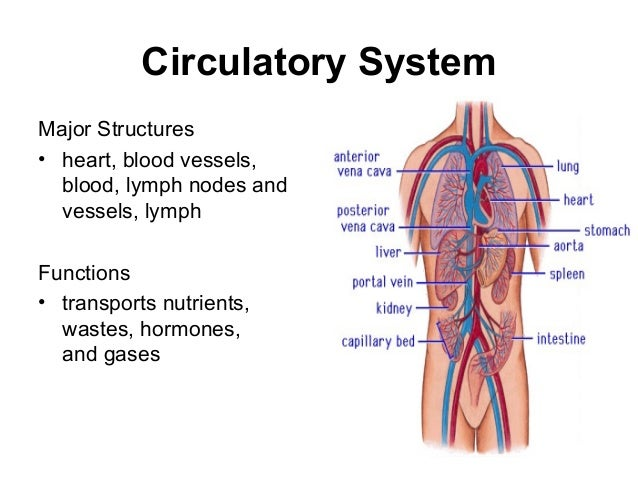 Heart Organ Cliparts further 17 besides 544970 together with Illustrating Tinybops 1st App besides Stock Illustration Heart Attack Coronary Artery Disease Muscle Damage Due To Blood Clot Very Detailed Illustration Fatty Image51912469. on human body circulatory system