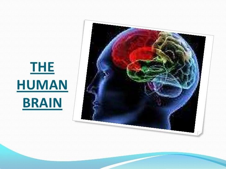 THE HUMAN BRAIN <br />