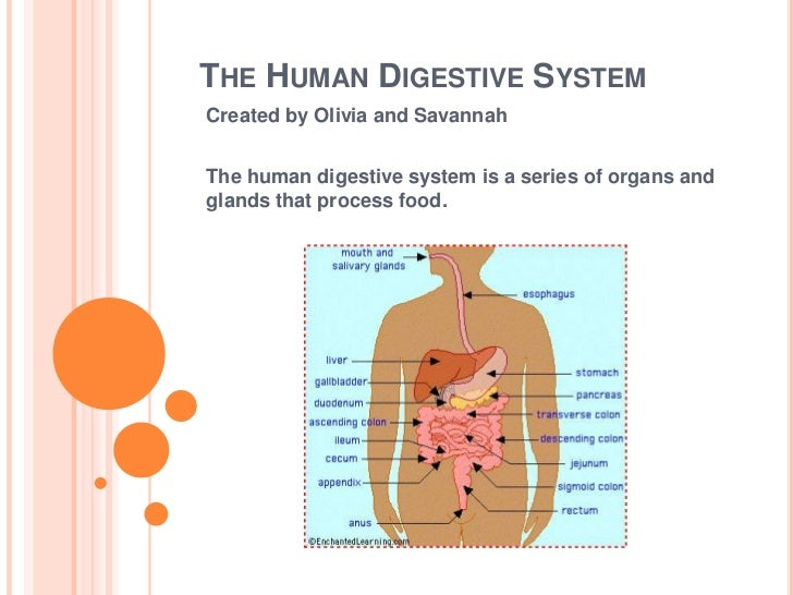 THE HUMAN DIGESTIVE SYSTEMCreated by Olivia and SavannahThe human digestive system is a series of organs andglands that pr...
