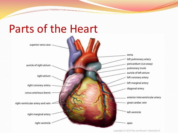 Chest Heart Location, Chest, Get Free Image About Wiring ...