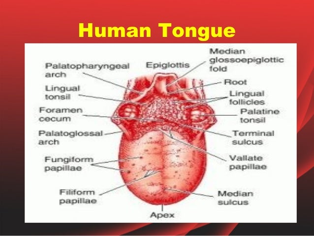 Parts Of The Tongue And Taste Bud Diagram, Parts, Get Free ...