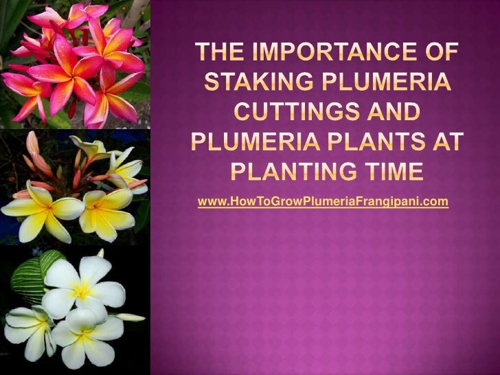 The Importance of Staking Plumeria Cuttings and Plumeria Plants at Planting Time