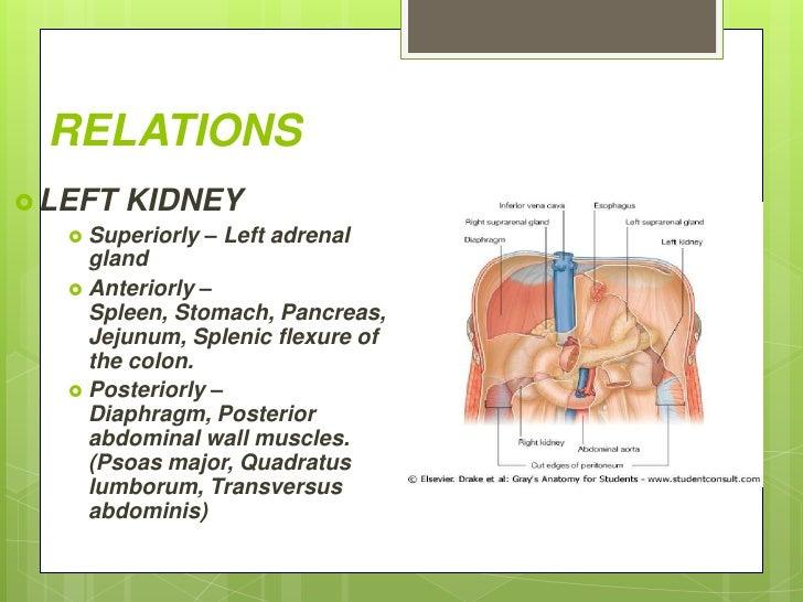 Kidney And Pancreas Location Kidney Location In Back ~ Elsavadorla