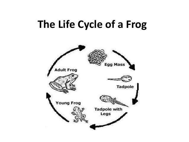 Frog life cycle eggs - photo#28