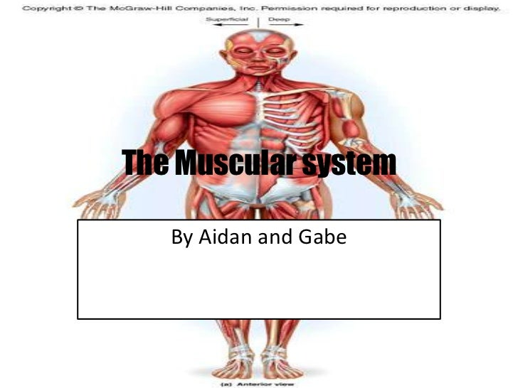 The Muscular system<br />By Aidan and Gabe<br />
