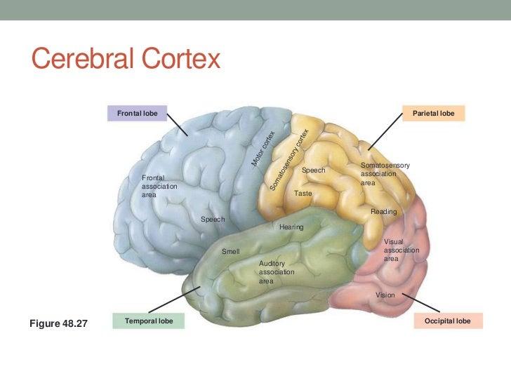 Cerebral Lobes Cerebral Cortex Frontal Lobe