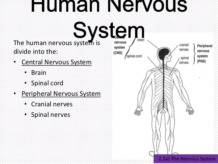The Nervous System 14074941 on Fuse Chart