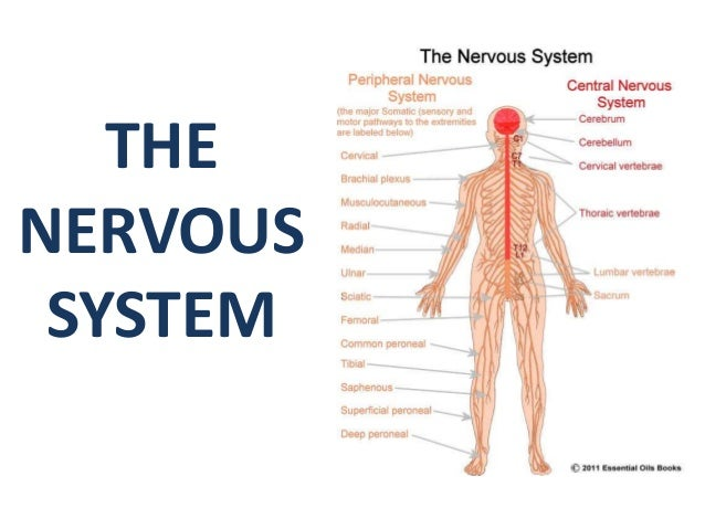 Everyday Fact of life: Top 17 mind-blowing nervous system facts