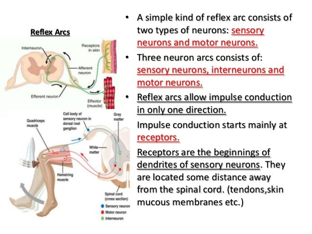 exercise 13 neuron anatomy and physiology Start studying exercise 13-neuron anatomy and physiology learn vocabulary, terms, and more with flashcards, games, and other study tools.