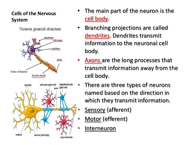 Anatomy And Physiology The Nervous System 01 23 13