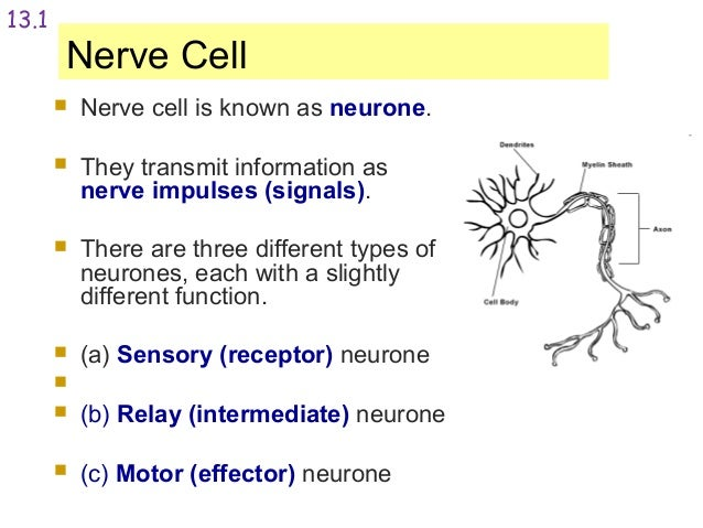 nerve cell function gallery