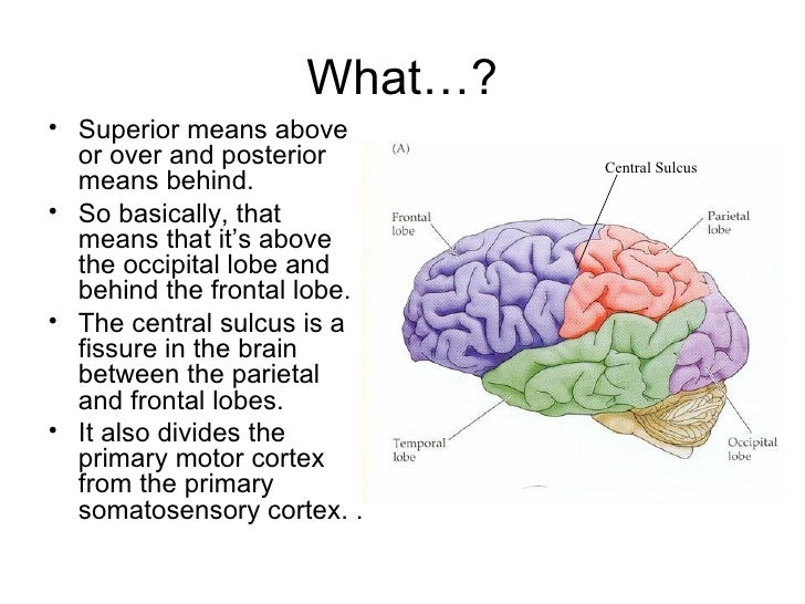 Frontal lobe function