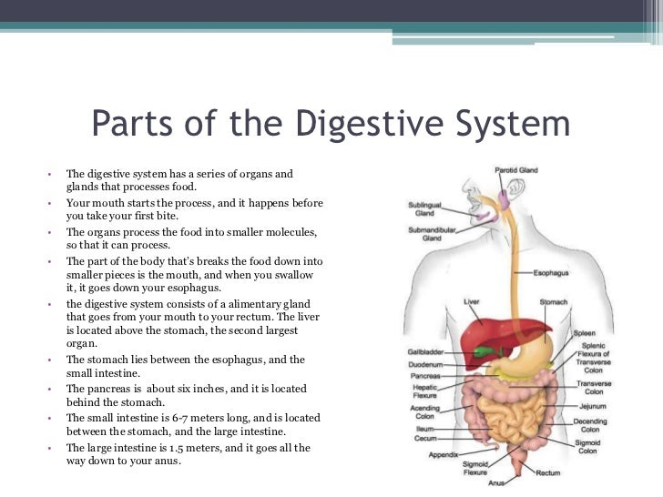 digestive system parts This organ stores swallowed food and liquid, mixes up digestive juices with the food and liquid and sends it to the small intestine.