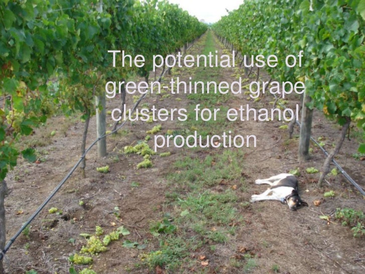 The potential use of green-thinned grape clusters for ethanol production<br />