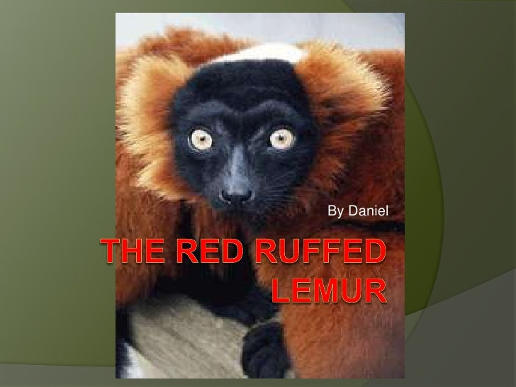 The red Ruffed lemur<br />By Daniel <br />
