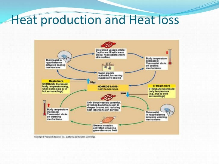 basic control mechanisms of thermoregulatory process Basic control mechanisms of thermoregulatory process in livestock salami saheed ayodeji introduction thermoregulation is the ability of an organism to keep its body.