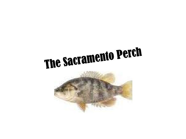 The sacramento perch