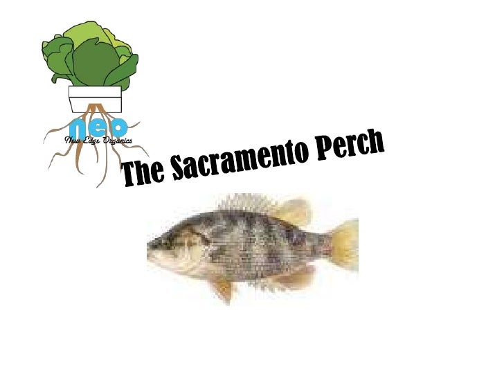 The Sacramento Perch attributes• The Sacramento Perch (Archoplites  interruptus) is the only native Sunfish  to the Wester...