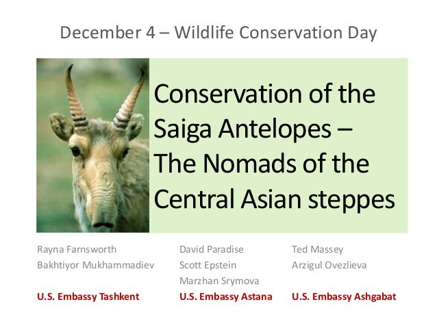 The Saiga Antelopes The Nomads of Central Asian Steppes