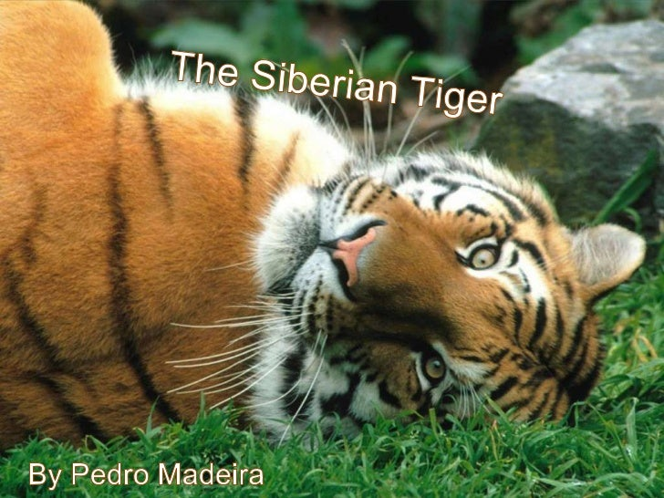 Geographic Location     The Siberian Tiger was discovered by aman named Coenraad Temminck, inthe Russian Far East.