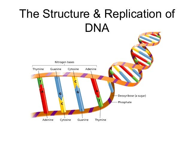 The Structure & Replication of DNA