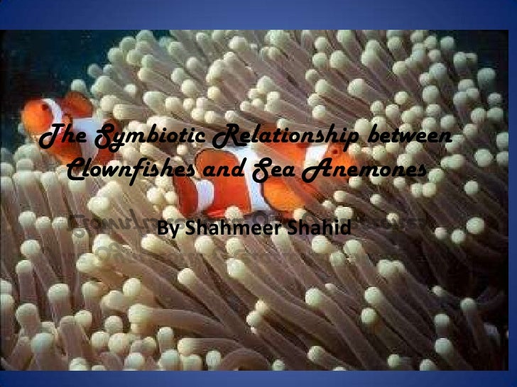 symbiotic relationship of clown fish and sea anemones