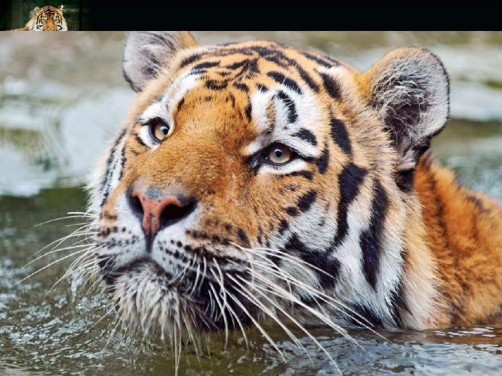 extinction of tigers Learn about the size, diet, population, range, behavior and other fascinating facts about tigers.
