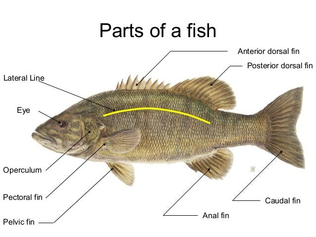 External anatomy of fish and their functions