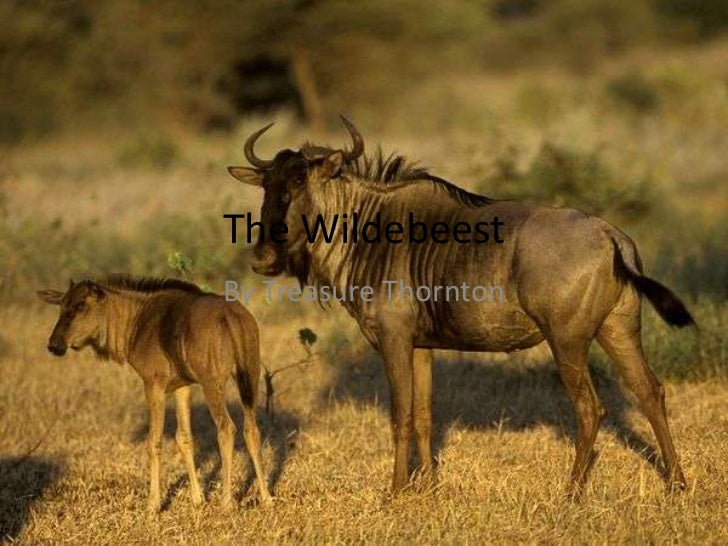 The Wildebeest<br />By Treasure Thornton<br />