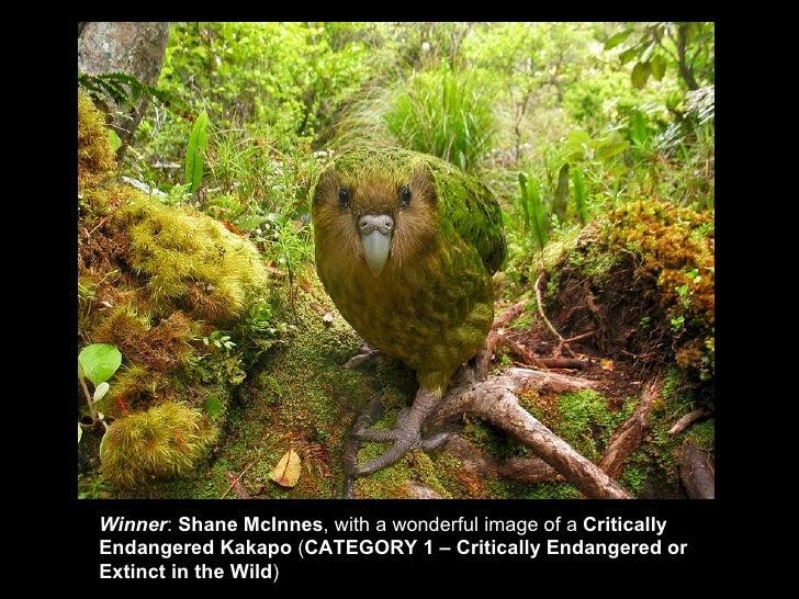 Winner : Shane McInnes , witha wonderful image of a  Critically EndangeredKakapo  ( CATEGORY 1 –Critically Endangered...