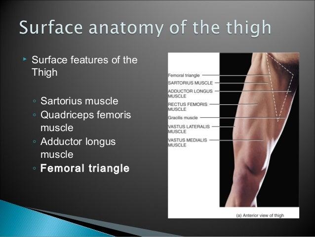 Thigh muscle anatomy mri