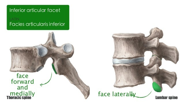 Facet definition anatomy