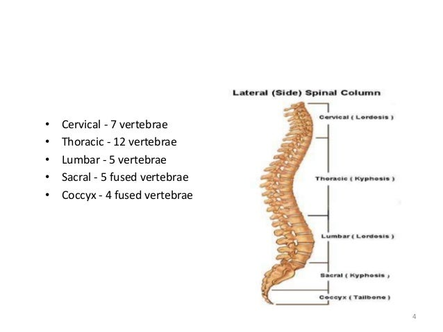 t9 vertebrae