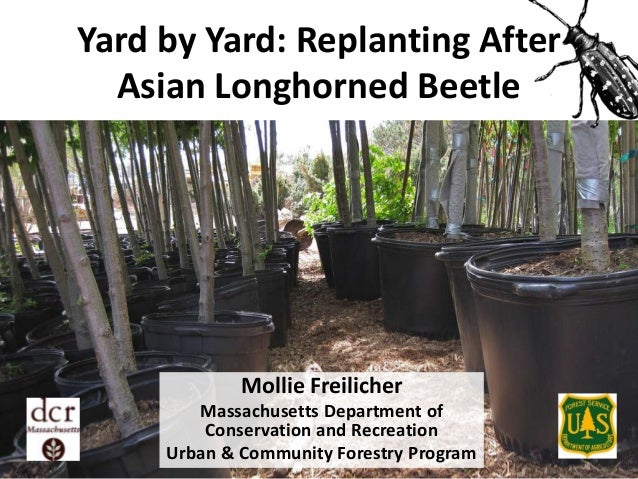 Yard by Yard: Replanting After Asian Longhorned Beetle  Mollie Freilicher Massachusetts Department of Conservation and Rec...