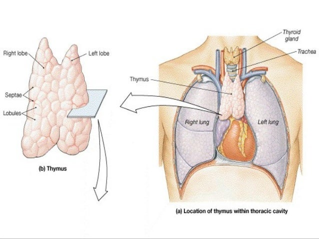 Trichinella Spiralis 37640195 likewise Anatomical plane moreover Week 4 Tissues Skin Membranes Lab likewise Ppt On Thymus in addition Management Of Normal Labour. on posterior body position