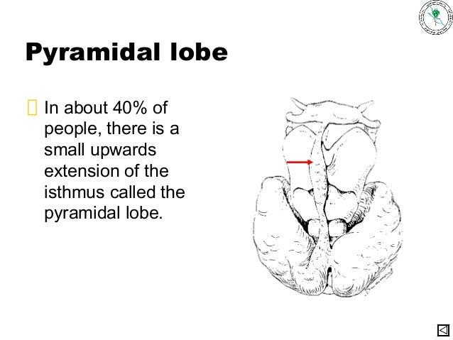 anatomy of Thyroid gland