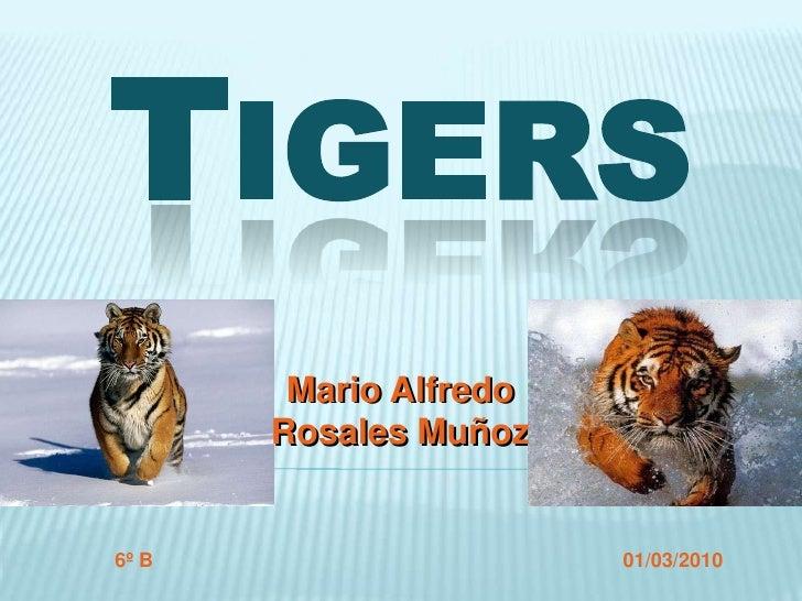 Tigers<br />Mario AlfredoRosales Muñoz<br />Mario AlfredoRosales Muñoz<br />6º B<br />01/03/2010<br />