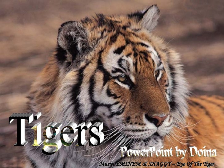 Tigers PowerPoint by Doina Music: EMINEM & SHAGGY – Eye Of The Tiger