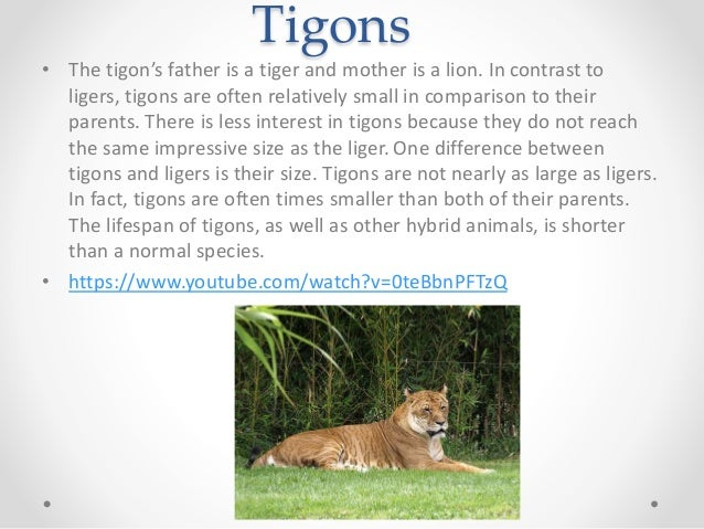 in Contrast to Ligers Tigons