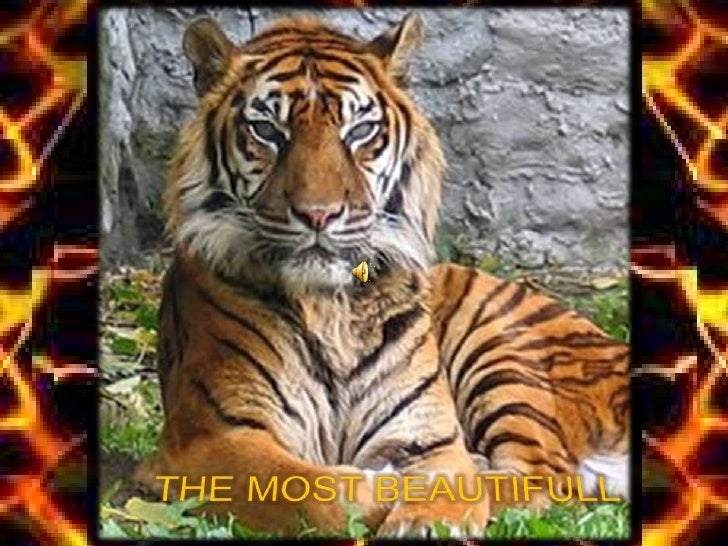 BEAUTIFULL TIGER´S PICTURES