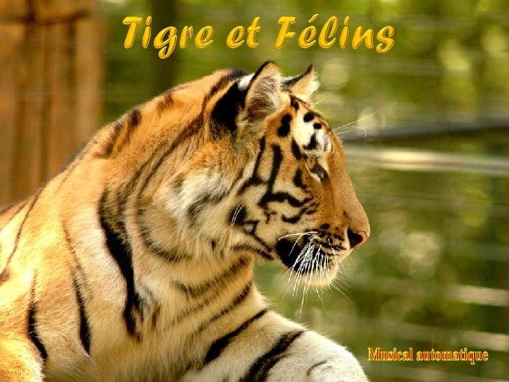 Tigres Et FéLins