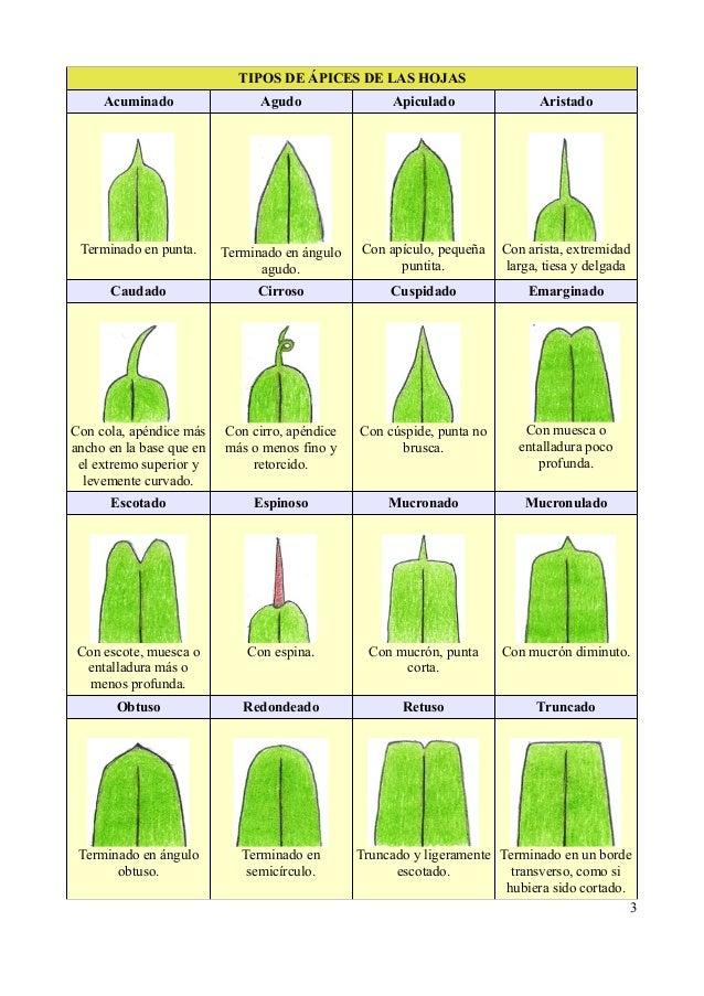 Tipos de hojas for Nombres de arboles en ingles
