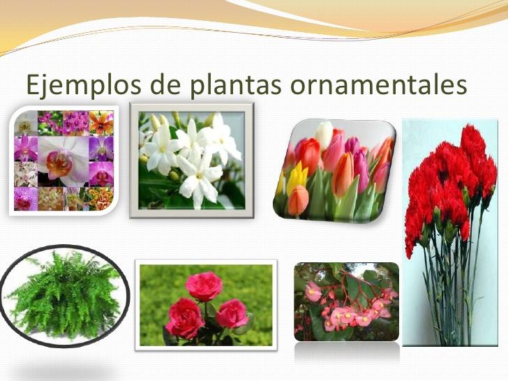 tipos de plantas ornamentales con nombres imagui