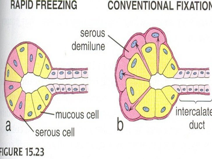 SPECIALIZATIONS                OF          EPITHELIAL CELLS• BASAL• APICAL• LATERAL