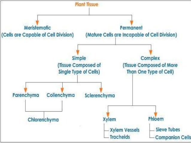 Tissues and types of plant tissues Xylem And Phloem In Plants