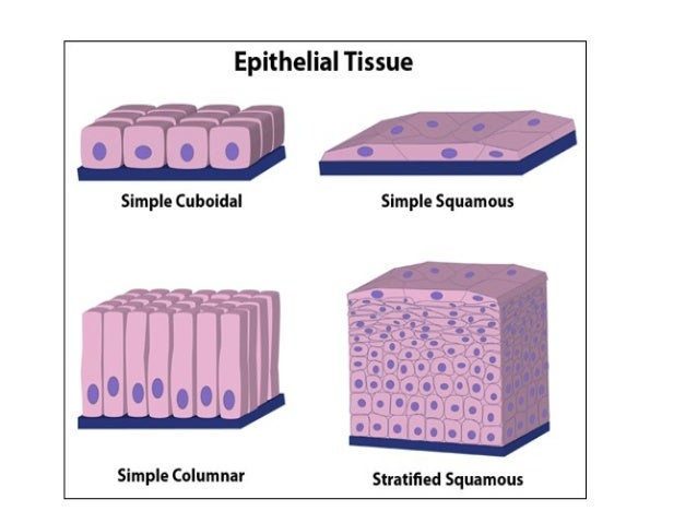 Types Of Muscular Tissue