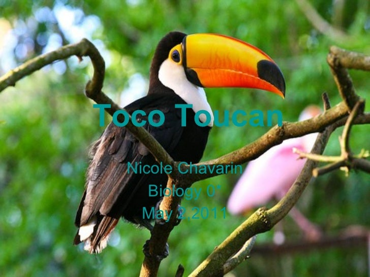 Toco Toucan Nicole Chavarin Biology 0* May 2,2011