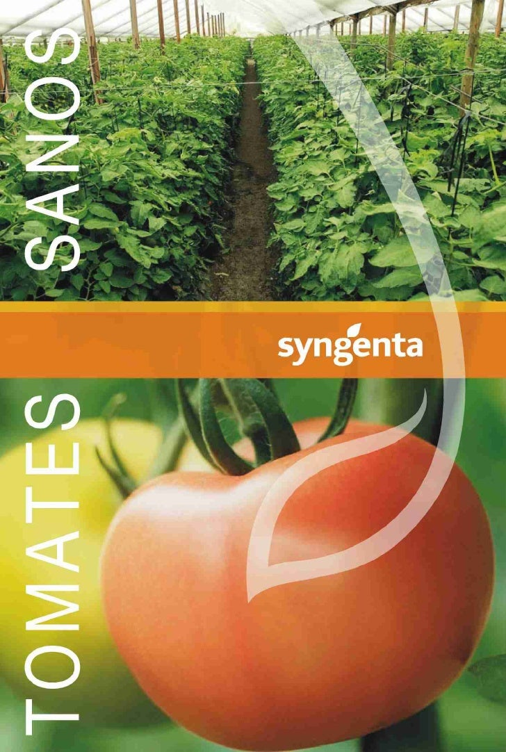 Tomates syngenta