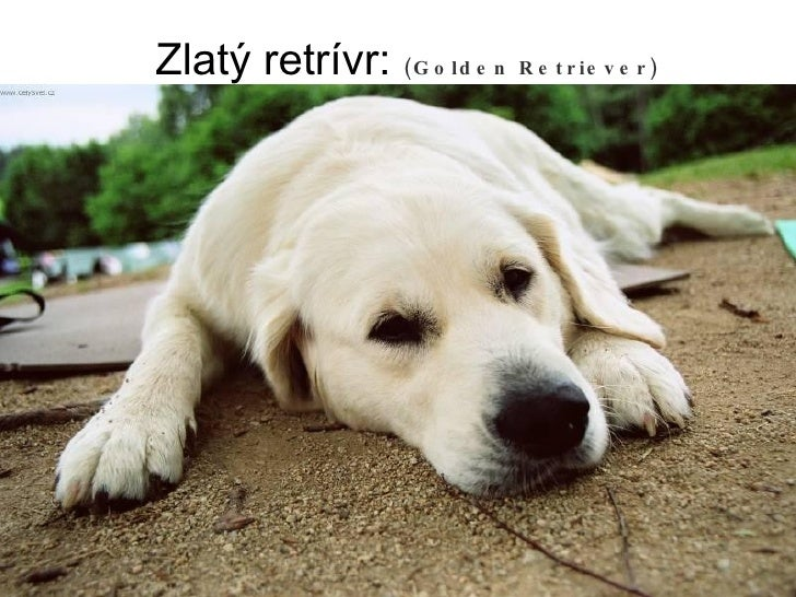 Zlatý retrívr:  (Golden Retriever)